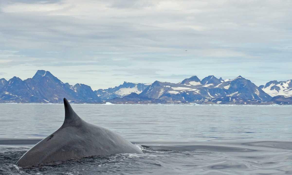 NATHAB_3_RickGuthke_RDT_Greenlandwhales
