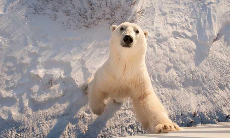 Classic Churchill Polar Bear Safari