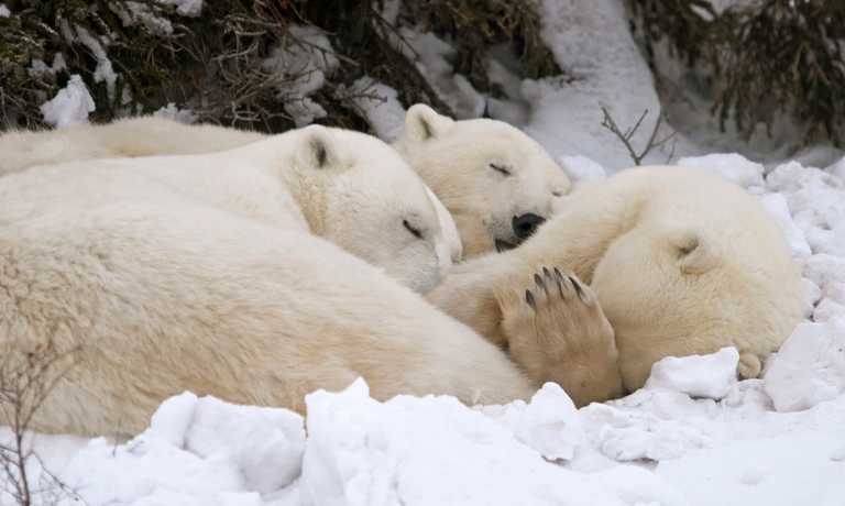Ultimate Polar Bear & Arctic Safari